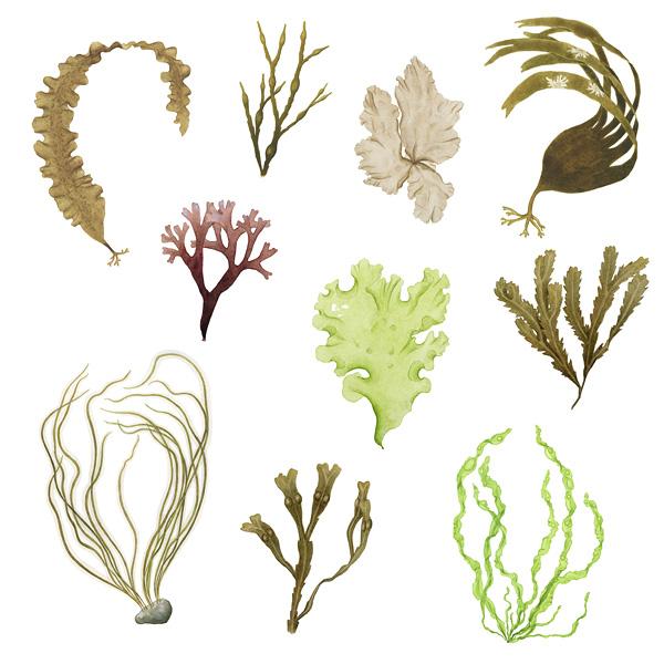 Ätbara alger västkusten